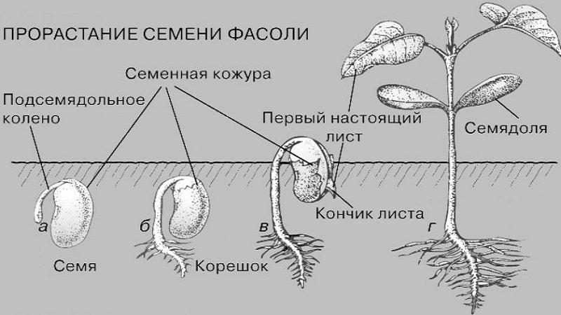 Из чего и как образуются семена фасоли?