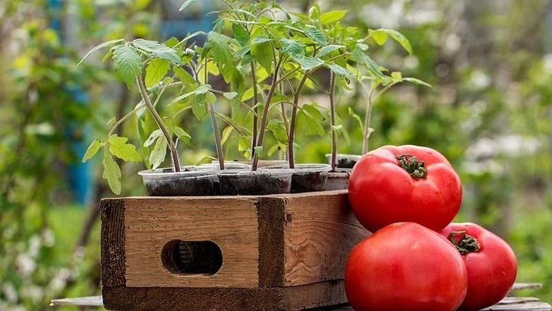"""Сорт с притягательным названием и необыкновенным вкусом - томат """"Райское наслаждение"""": выращиваем и дегустируем"""
