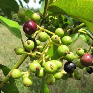 Как растет душистый перец горошком в естественной среде и как его вырастить в домашних условиях
