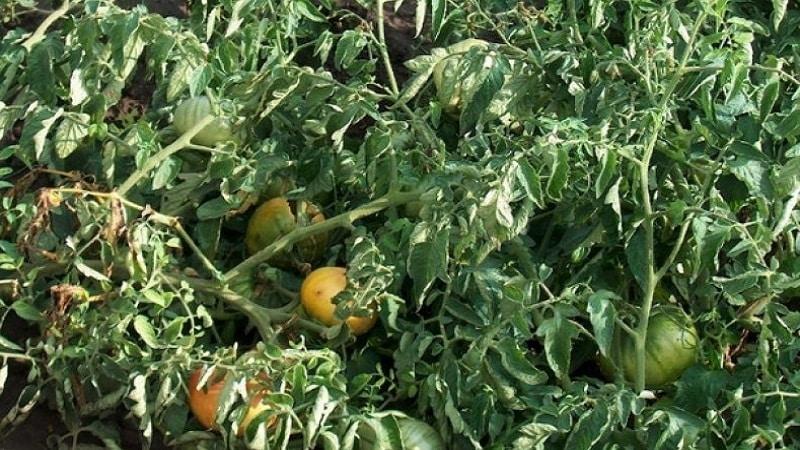 Самые эффективные методы лечения фузариозного увядания томатов: инструкции, по которым справится даже новичок