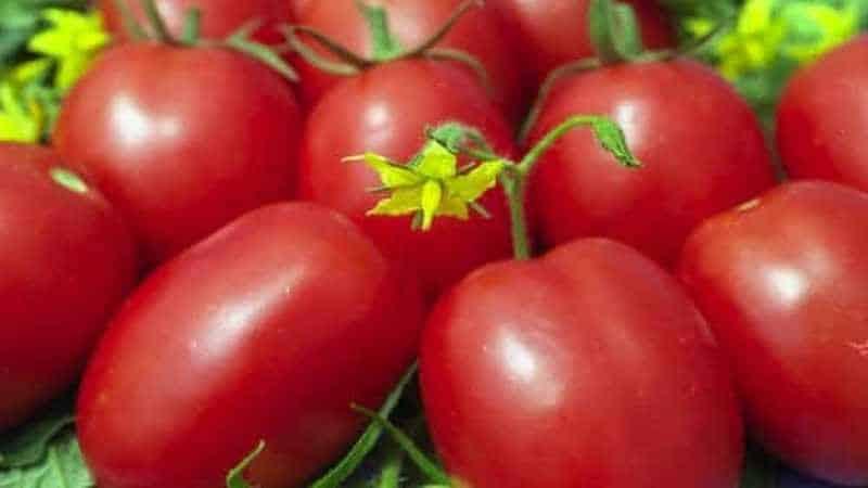 """Один из самых старинных сортов овощной селекции - томат """"Глория"""": сорт, проверенный временем"""