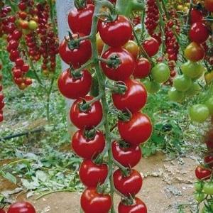 """Длинные плети, усыпанные вкуснейшими помидорками - томат """"Рапунцель"""": описание, фото и инструкция по выращиванию"""