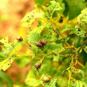 Вредители сладкого перца и борьба с ними: фото листьев и самые эффективные методы спасения урожая