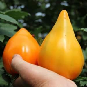 """Рекордсмен по содержанию полезных веществ - томат """"Оранжевое сердце"""""""