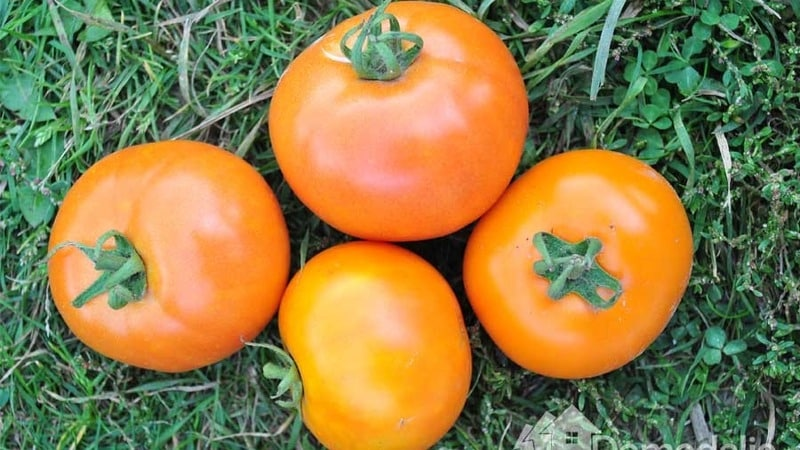 """Популярный и любимый дачниками томат """"Андромеда"""": выращиваем и радуемся богатому урожаю"""