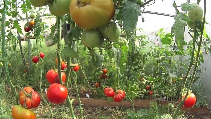"""Чем хорош и почему стоит выращивать раннеспелый, высокоурожайный и стойкий к заболеваниям и непогоде томат """"Москвич"""""""