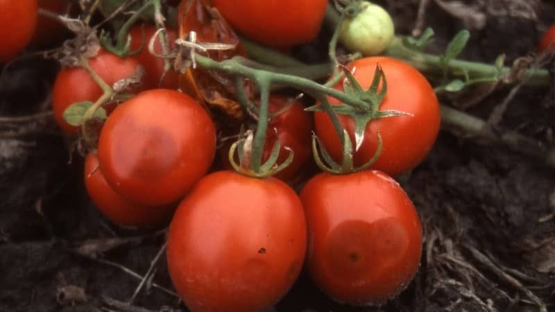 Чем так страшен антракноз томатов: изучаем заболевание и эффективно боремся с ним самостоятельно