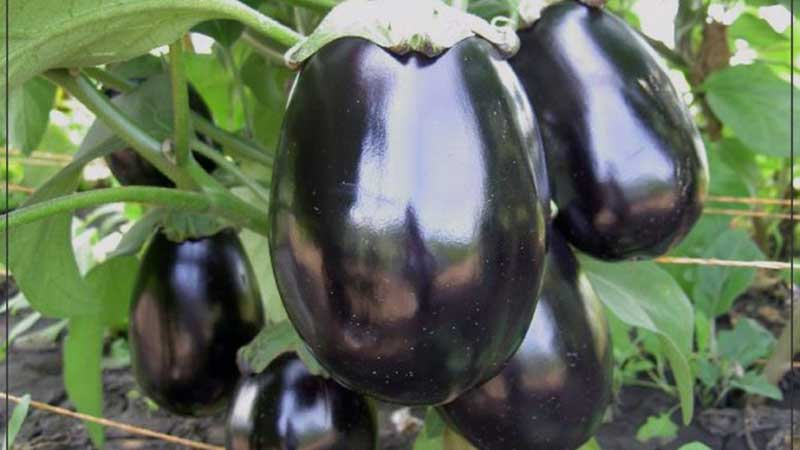 Что такое баклажан - это ягода или овощ: разбираемся вместе и знакомимся с растением ближе