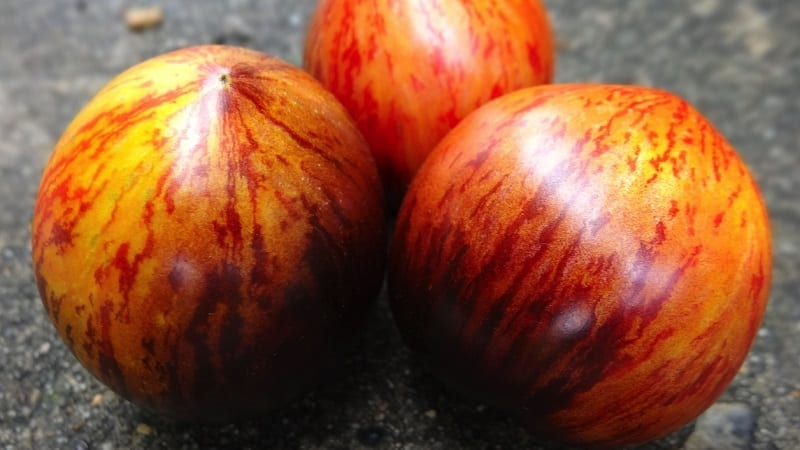 """Экзотический сорт с уникальным внешним видом - томат """"Гаргамель"""" и тонкости его выращивания"""