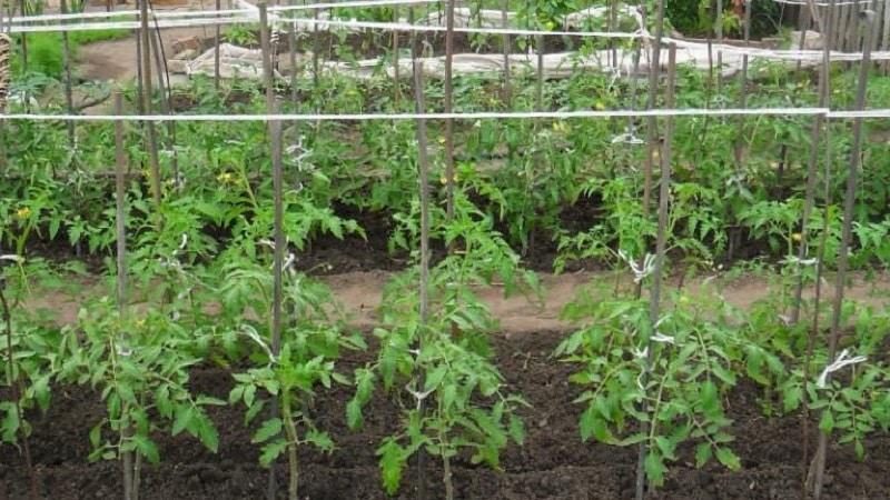 """Исполняет желания дачников о богатом урожае - томат """"Золотая рыбка"""" и секреты его выращивания"""