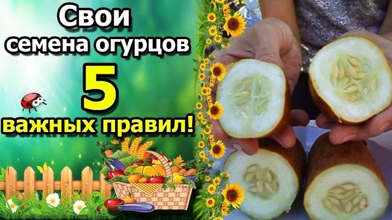 Как вырастить огурец на семена и правильно собрать посевной материал: пошаговая инструкция