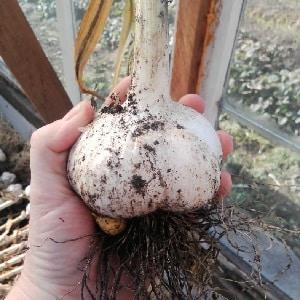 Лукочеснок или причесночный лук - что такое чеснок {amp}quot;Рокамболь{amp}quot; и как его правильно вырастить и применить с умом