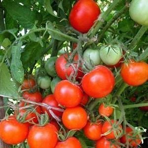 """Миниатюрные кустики с аккуратными помидорками, плодоносящие до самых  заморозков – томаты """"Факел"""""""