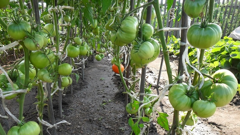 """Один из самых любимых среди огородников томат """"Тяжеловес Сибири"""": стойкий, раннеспелый и высокоурожайный сорт"""