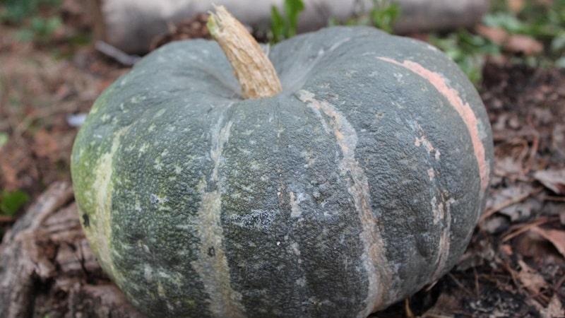 Особенности выращивания крупноплодных сортов тыквы