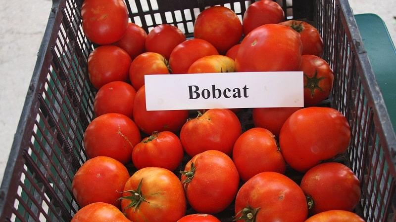 """Почему каждому огороднику стоит хоть раз вырастить томат """"Бобкат"""" – лучший из низкорослых"""