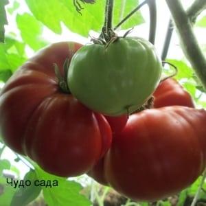 """Помидор-гигант, размер плодов которого поражает воображение - выращиваем самостоятельно томат """"Чудо сада"""""""