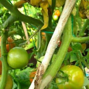 Поможет ли зеленка для помидоров от фитофторы и как её правильно применять: инструкция и советы дачников со стажем