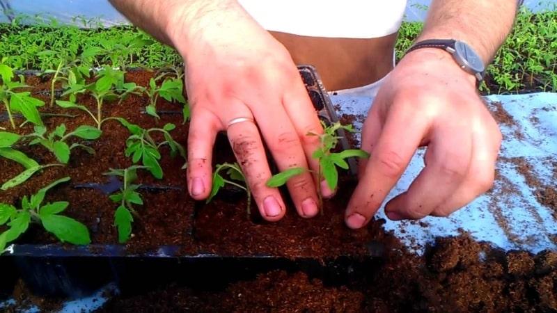 """Раннеспелый и неприхотливый сорт, дающий обильный урожай: томат """"Примадонна"""" - любимец отечественных огородников"""