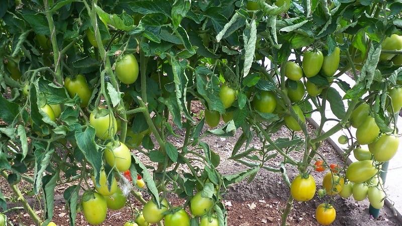 """Разработанный японскими селекционерами томат """"Диаболик"""": чем хорош и почему полюбился отечественным фермерам"""