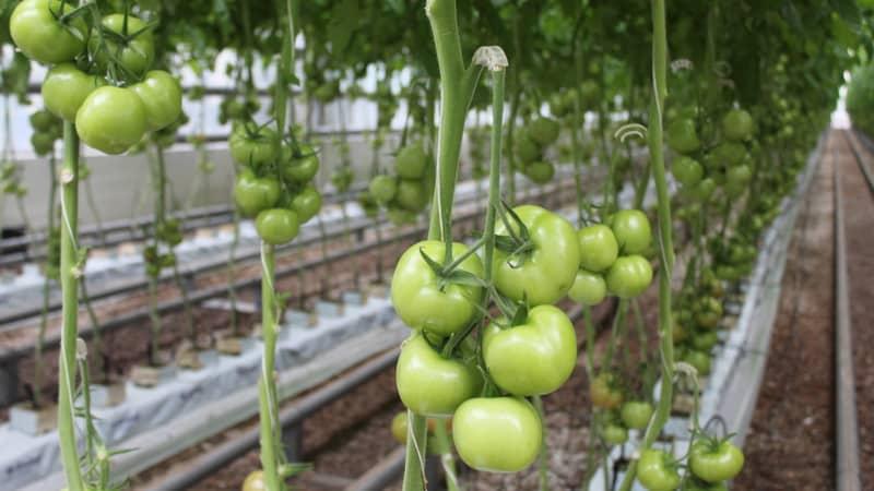 Решаем проблемы с урожаем томатов: что делать, если не краснеют помидоры в теплице