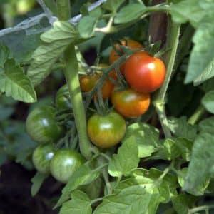 Как подкормить помидоры дрожжами в домашних условиях и в открытом грунте