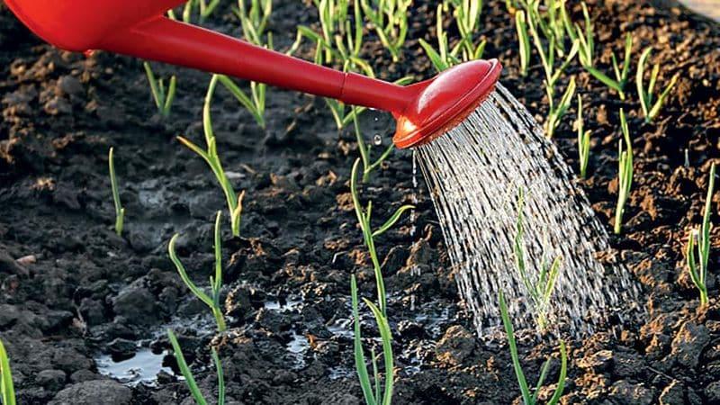 Секреты опытных огородников: что посадить после чеснока на следующий год, а каких посевов следует избегать