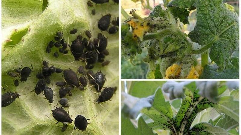 Тля на помидорах: как бороться во время цветения и какие средства выбрать для обработки томатов