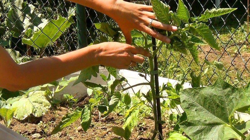 """Удивите гостей и соседей необычными помидорами - томат """"Черная гроздь F1"""""""