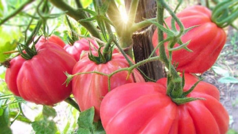 """Удивительный на вид томат """"Инжир розовый"""" со сладким фруктовым вкусом – сорт для настоящих гурманов"""