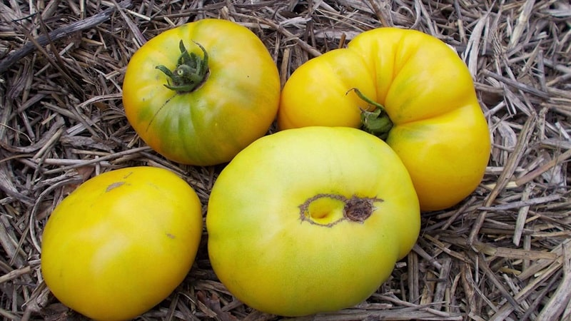 """Удивительный сорт помидоров зеленого цвета - томат """"Болото"""" для настоящих гурманов"""