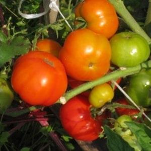 """Ультраранний, некапризный, низкорослый и очень вкусный томат """"Бони ММ"""": полный обзор сорта и его выращивание"""