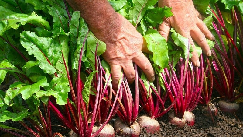Выращиваем столовую свеклу правильно: от выбора сорта до сбора урожая