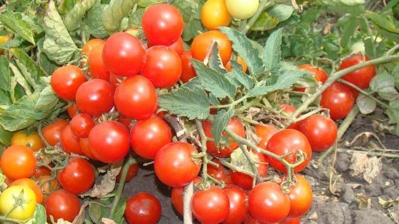 """Яркие бусы на кустах - миниатюрный томат """"Пиноккио"""": выращиваем на участке и дома на балконе"""