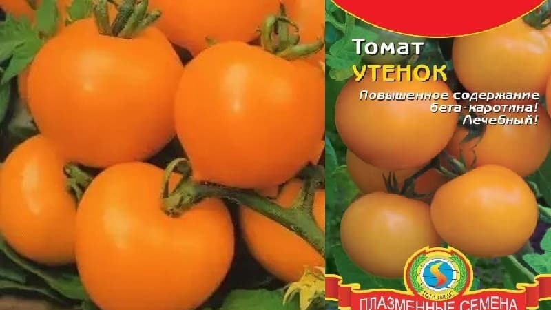 """Яркий, необычайно полезный и обожаемый детьми томат """"Утенок"""" для выращивания в теплицах и на открытом грунте"""