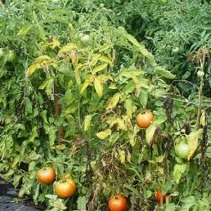 Частая проблема дачников: желтеют листья на помидорах - что делать и как это предотвратить?