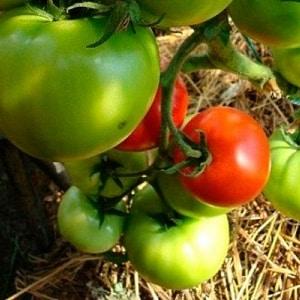 """Новый гибрид """"Любовь"""": схема посадки и особенности ухода для получения хорошего урожая"""