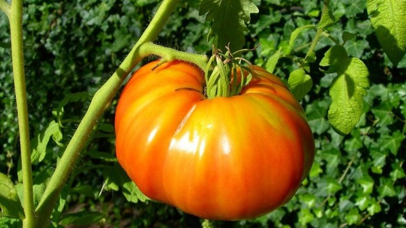 """Непростой в уходе, но невероятно урожайный сорт отечественной селекции - томат """"Космонавт Волков"""""""