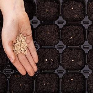 """Стойкий к заболеваниям и неприхотливый в уходе томат """"Розовая Стелла"""": отзывы, фото и секреты получения обильного урожая"""