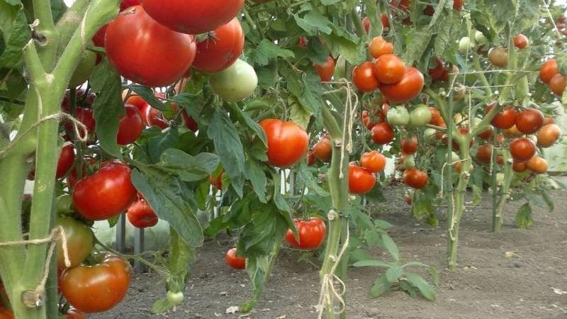 """Лучший скороспелый сорт по мнению дачников - томат """"Король ранних"""": чем так хорош и почему его стоит выращивать"""