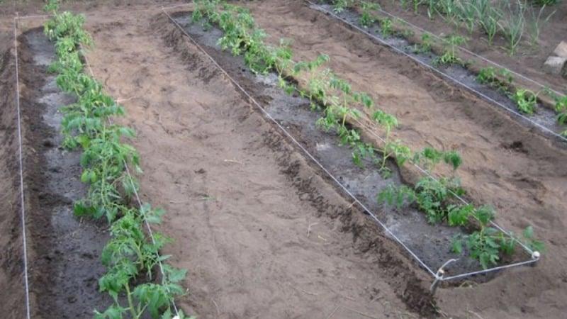 """Получаем высокий урожай при минимальных затратах и рисках, выращивая помидор """"Колхозный урожайный"""""""