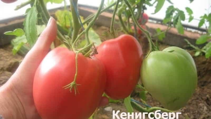 """Богатый урожай, изумительный вкус и яркий цвет - томат """"Кенигсберг золотой"""" и руководство по его выращиванию"""