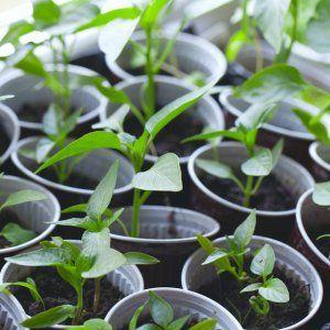 Как выращивать перец Нежность, проверенный временем и любимый огородниками