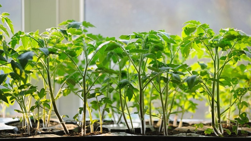 """Как вырастить гибрид томата """"Барбарис"""" на своем участке и какими положительными качествами он обладает"""