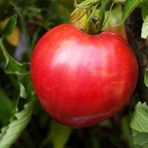 """Сорт с безупречным вкусом и ароматом - томат """"Король Лондона"""": отзывы, фото и секреты ухода"""