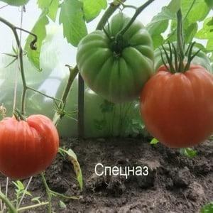"""Обладающий устойчивостью к непогоде и великолепной урожайностью томат """"Спецназ"""": обзор сорта и нюансов выращивания"""