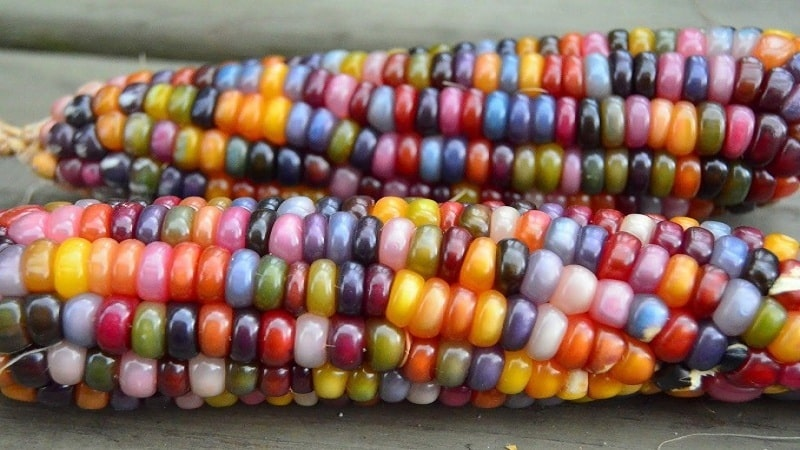Цветная кукуруза - реальность или фотошоп: знакомимся с удивительными сортами и пробуем вырастить самостоятельно