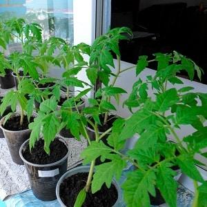 """Любимые садоводами помидоры """"Ямал"""": выращиваем неприхотливый сорт самостоятельно без особого труда"""