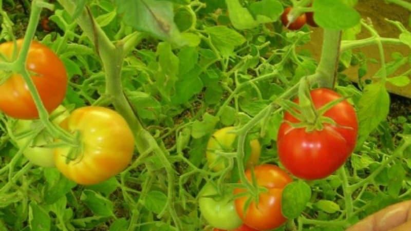 """Стоит ли сажать гибридный томат """"Красная стрела F1"""": характеристики, которые могут повлиять на ваш выбор"""