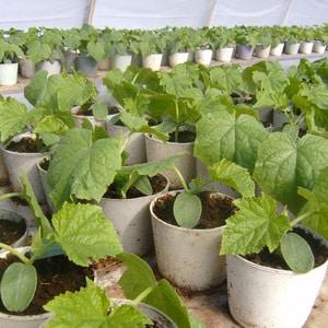 """Сорт тыквы """"Атлант"""": выращиваем рекордные по размеру плоды на своём участке"""